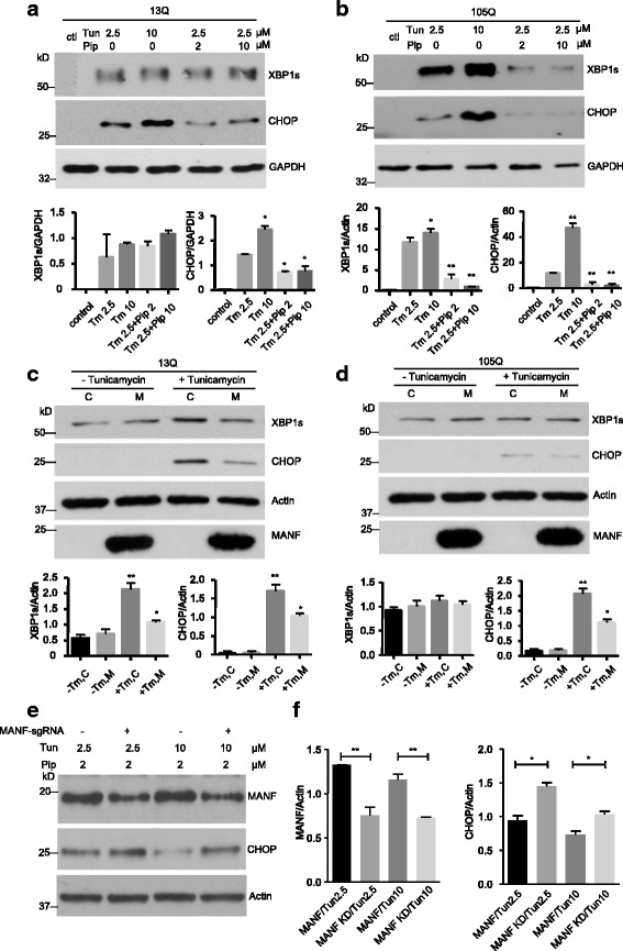 Piperine reduced ER stress caused by mutant TBP. a , b Stable transfected PC12 cells expressing TBP-13Q ( a ) or TBP-105Q ( b ) were treated with different concentrations (0, 2 or 10 μM) of piperine for 48 h. Different concentrations of tunicamycin (0, 2.5 or 10 μM) were then added for 4 h. Western blotting was performed to examine the levels of XBP1s and CHOP. Untreated cells (ctl) were used as controls. GAPDH was used as a loading control. The ratios of XBP1s or CHOP to GAPDH are presented beneath the blots (n = 3, * P