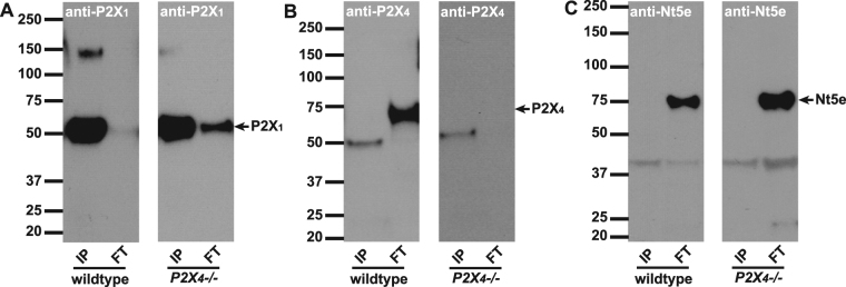 <t>Immunoprecipitation</t> with anti-P2X 1 antibody. Antibodies to P2X 1 were immobilized onto resin beads and then incubated with mouse bladder lysates to IP the antigen and co-IP interacting proteins. Proteins that were bound (IP: 2.5 µg protein/lane) or did not bind (FT: 25 µg protein/lane) to the beads were resolved by SDS-PAGE, and Western blots were probed with A) P2X 1, B) P2X 4 or C) Nt5e antibodies. ( A ) Left and right panels show P2X 1 immunoblots on IP and FT lysates from wild type and P2X 4 −/− mice. Monomeric P2X 1 can be seen highly concentrated in the pulldown fraction at 50 kDa. Little P2X 1 appears in FT. ( B ) P2X 4 antibody detects P2X 4 as a band at 70 kDa in wild type, but is completely absent in P2X 4 −/− mice. The antibody shows minor cross-reactivity to possibly P2X 1 . Note, there is no evidence of the 70 kDa band in the IP lane. ( C ) An antibody to 5′-nucleotidase (Nt5e) demonstrates that pulldown with anti-P2X 1 is 'clean' with no non-specific protein binding evident in the IP lanes.