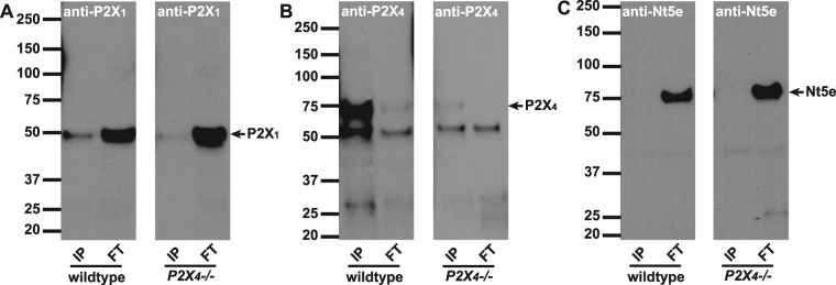 Immunoprecipitation with anti-P2X 4 antibody. Antibodies to P2X 4 were immobilized onto resin beads and then incubated with mouse bladder lysates to IP the antigen and co-IP interacting proteins. Proteins that were bound (IP: 2.5 µg protein/lane) or did not bind (FT: 25 µg protein/lane) to the beads, were resolved by SDS-PAGE, and Western blots were probed with A ) P2X 1, B) P2X 4 or C ) Nt5e antibodies. ( A ) Left and right panels show P2X 1 immunoblots on IP and FT lysates from wild type and P2X 4 −/− mice. P2X 1 is highly concentrated in the FT fractions. Minor potential P2X 1 staining appears in the IP lane, however this is due to P2X 4 antibody cross-reacting and pulling down some P2X 1 . ( B ) P2X 4 antibody detects P2X 4 as a band at 70 kDa in wild type IP lane, but is absent in P2X 4 −/− mice. The antibody shows minor cross-reactivity to P2X 1 (50 kDa band). ( C ) An antibody to 5′-nucleotidase (Nt5e) demonstrates that pulldown with anti-P2X 4 is 'clean' with no non-specific protein binding evident in the IP lanes.