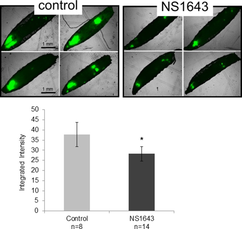 NS1643 arrests RasV12 tumor growth in Drosophila melanogaster Inhibition of proliferation in Drosophila model by Kv11.1 stimulation (NS1634) in comparison to vehicle alone (control). On the seventh day after egg laying (3 days of drug treatment), larvae were harvested and imaged on an EVOS fluorescent microscope. Data is expressed as Mean ± SEM; * p