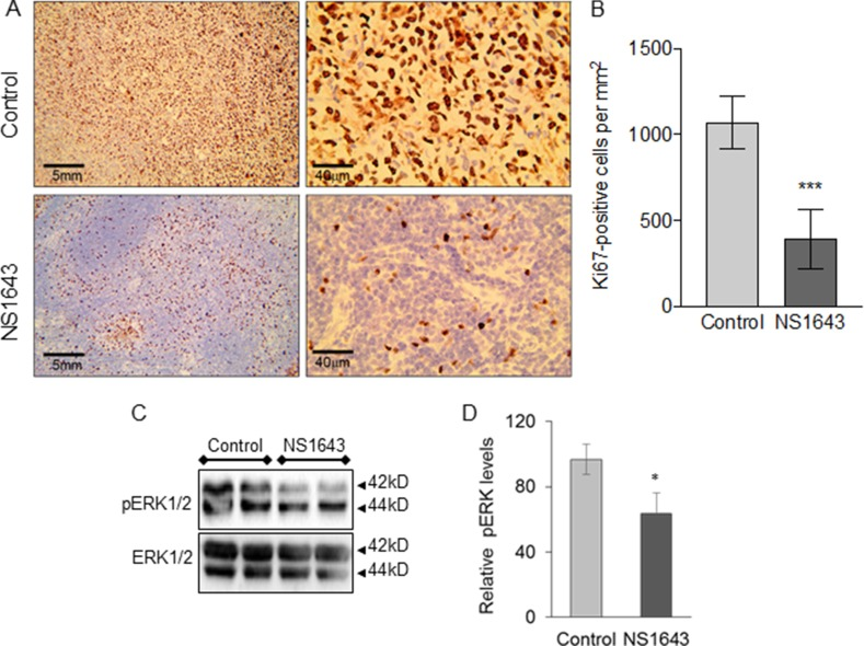 NS1643 treatment decreases tumor proliferation markers ( A ) Detection of Ki67 (clone Mib-1, Glostrup, Denmark) protein expression in mice treated with DMSO (control) or NS1643 and ( B ) quantification of Ki67-positive cells per mm 2 . Data presented as mean ± S.D. Unpaired t -test. *** p