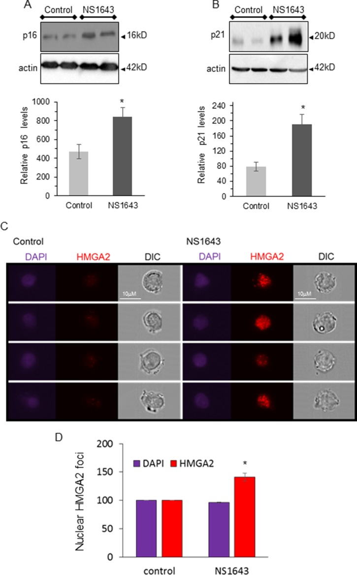 NS1643 treatment increases senescence markers in vivo ( A ) Representative immunoblots and quantification of the effects of NS1643 on senescence markers p16 INK4A and ( B ) p21 waf/cip in tumors extracted from mice receiving DMSO (control) or NS1643. Data is expressed as mean ± SEM; Unpaired t -test. * p