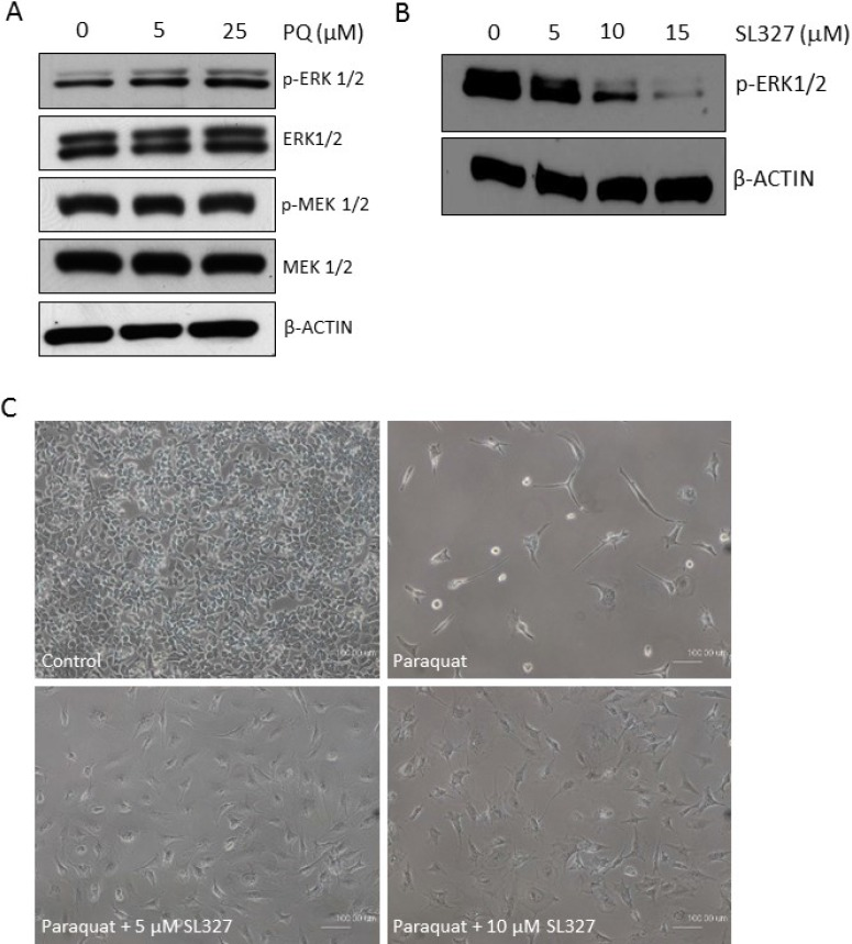 MAPK-ERK1/2 signaling is activated by high ROS in NT2 cells ( A ) Cells were treated with the increasing concentrations of paraquat (PQ). The activation status of ERK1/2 and the upstream MEK1/2 was determined by immunoblotting with indicated antibodies. β-ACTIN was used as the loading control. ( B ) Cells were treated with indicated doses of MEK1/2 inhibitor, SL327. The efficacy of the inhibitor was demonstrated by immunoblotting for phospho-ERK1/2. ( C ) Cells were concurrently treated with 100 μM paraquat and indicated doses of SL327 for 6 days. The phase contrast images showed the cell density and morphology under different treatments. Scale bar: 100 µm.