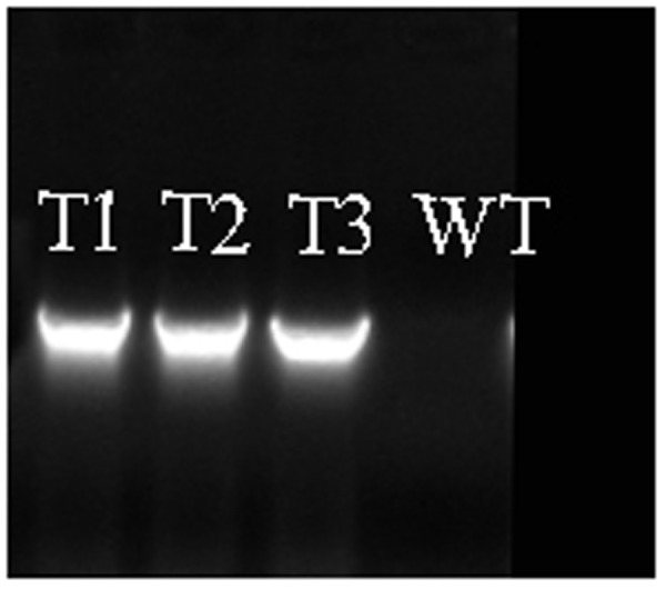 Confirmation of PmRGL2 in three, independent lines of transgenic poplar (T 1 , T 2 , T 3 ), and its absence in wild-type poplar lines. WT, wild-type.