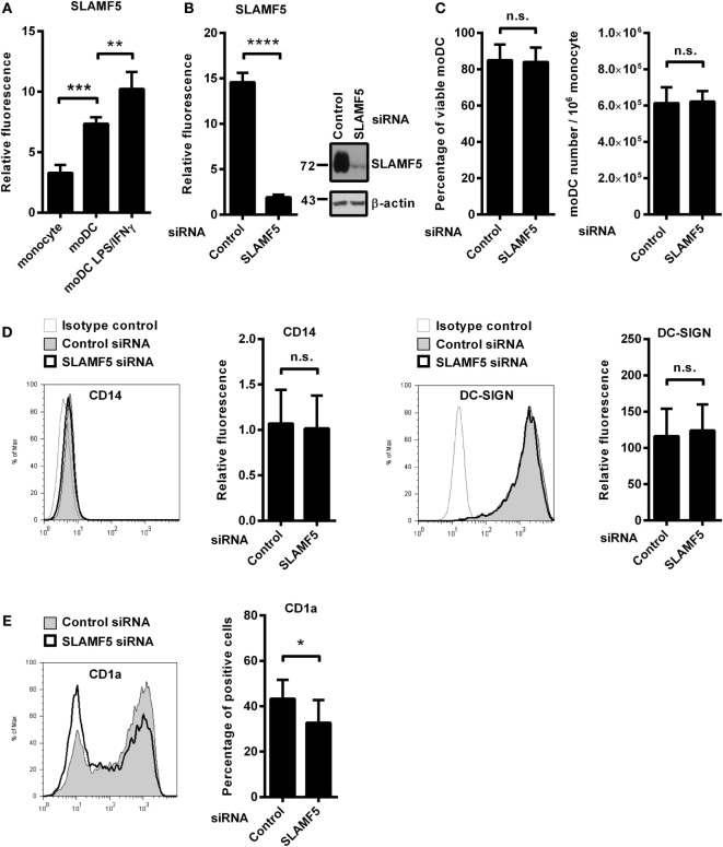 The effect of SLAMF5 silencing on the phenotype of moDCs. (A) Cell surface expression of SLAMF5 on monocytes and on GM-CSF/IL-4-differentiated moDCs treated or not with LPS/IFNγ was assessed by flow cytometry. (B) Monocytes were transfected with the indicated siRNAs and differentiated into moDCs. On day 5, SLAMF5 expression was measured by flow cytometry and western blot analysis. β-actin was used as protein loading control. (C) Viability of control and SLAMF5 knockdown moDCs was determined by 7-aminoactinomycin-D (7-AAD) dye exclusion. Bar graphs indicate percentage of cells negative for 7-AAD (left panel) and the total number of moDCs differentiated from 10 6 monocytes (right panel). (D) Expression levels of CD14 and DC-SIGN in control and SLAMF5 knockdown moDCs were measured by flow cytometry. Representative histograms show protein expression in control (thin line with gray shading) and knockdown cells (bolded black line) or staining with isotype control antibody (thin gray line). Bars show the relative fluorescence intensity values of CD14 and DC-SIGN, calculated using the respective isotype-matched control antibodies. The results shown are taken from four independent donors. (E) Representative histograms show CD1a expression in control (thin line with gray shading) and SLAMF5 -silenced (bolded black line) moDCs. Bars show the percentage of CD1a + cells. Data are presented as means ± SD of six independent experiments. Error bars indicate SD (* p