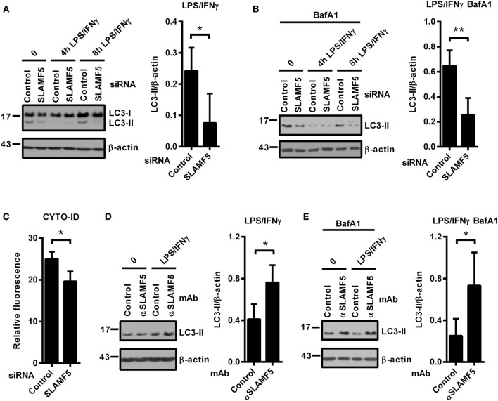 SLAMF5-mediated enhancement of dendritic cell autophagy under steady-state conditions and in response to LPS/IFNγ activation. Control and SLAMF5 -silenced moDCs were stimulated or not with LPS/IFNγ for the indicated time periods in the absence [ (A) cropped] or in the presence of 20 nM bafilomycin A1 (BafA1) applied for the last 2 h (B) . Conversion of LC3 was determined by western blotting. A representative immunoblot of four independent experiments is shown on the left; ratios of LC3-II and β-actin determined by densitometry are shown in the right panels. (C) Control and SLAMF5-depleted moDCs were stained with CYTO-ID. Fluorescence intensity was determined by flow cytometry. Graph depicts the relative fluorescence intensity of CYTO-ID obtained in four independent experiments (D,E) . moDCs were conditioned with 10 μg ml −1 SLAMF5-specific or control antibodies followed by cross-linking with 10 μg ml −1 F(ab′) 2 fragment of goat anti-mouse IgG, then stimulated with LPS/IFNγ for 8 h in the absence (D) or in the presence (E) of 20 nM BafA1 applied for the last 2 h of the experiment. LC3 and β-actin levels were analyzed by western blotting; a representative blot and the mean ratios of LC3-II to β-actin from three independent experiments are shown. Data are expressed as the mean ± SD (* p