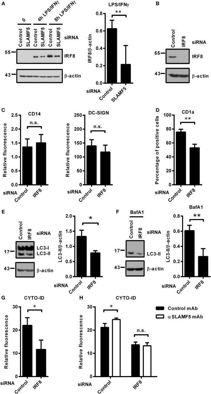 """SLAMF5 controls the level of IRF8 protein, a positive regulator of autophagy in moDCs. (A) moDCs transfected with either control or an SLAMF5 -specific siRNA were treated with LPS (100 ng ml −1 ) and IFNγ (10 ng ml −1 ) for the indicated time periods. IRF8 protein level was measured by immunoblotting, and the ratio of IRF8/β-actin was quantified from five independent experiments. (B) Efficiency of IRF8 knockdown was tested on day 5 by western blot analysis; a representative blot is shown with β-actin as loading control. (C) Expression levels of CD14 and DC-SIGN as well as CD1a (D) were measured in control and IRF8 knockdown moDCs by flow cytometry. Bars show the relative fluorescence intensity values or the percentage of positive cells. The results shown are taken from three independent experiments. LC3-II expression was measured in control or IRF8 -silenced moDCs by immunoblotting in the absence (E) or in the presence of bafilomycin A1 (BafA1) (F) . One representative of three experiments is shown. Bar charts display the ratio of LC3-II/β-actin. (G) CYTO-ID staining of control and IRF8 -silenced moDCs from three donors was analyzed by flow cytometry. (H) CYTO-ID staining of control and IRF8 -silenced moDCs in which SLAMF5 was cross-linked with the SLAMF5-specific agonistic antibody 152.1D5 as described in Section """" Materials and Methods ."""" Data are expressed as the mean ± SD (* p"""