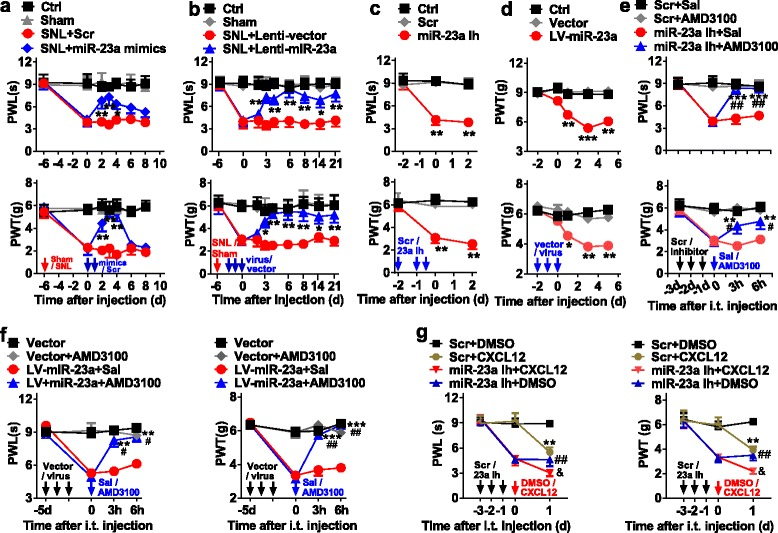 Spinal miR-23a regulates pain behavior via CXCR4. a , b Daily intrathecal injections of miR-23a mimics ( a ) or Lenti-miR-23a ( b ) for 2 or 3 consecutive days, respectively, reversed pSNL-induced thermal hyperalgesia and mechanical allodynia. Two-way ANOVA (effect versus group × time interaction) followed by post hoc Tukey test, a PWL F group (18, 112) = 10.24, PWT F group (18, 112) = 12.02; b PWL F group (18, 112) = 10.57, PWT F group (18, 112) = 8.12, * p