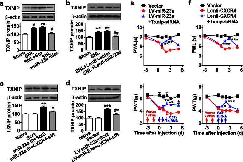 <t>miR-23a/CXCR4</t> regulates neuropathic pain via TXNIP. a , b Increased spinal TXNIP protein expression in pSNL mice was reversed by intrathecal injection of miR-23a mimics ( a ) or Lenti-miR-23a ( b ). Intrathecal injections began on day 7 after pSNL. TXNIP was measured at 24 h after 2-day miR-23a mimics injections or at 48 h after 3-day Lenti-miR-23a injections. One-way ANOVA (expression versus treatment groups) followed by post hoc Tukey test a F (3, 16) = 12.54; b F (3, 16) = 17.27, * p