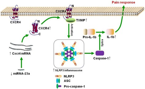 The schematic of miR-23a targeting CXCR4 regulates neuropathic pain via TXNIP/NLRP3 inflammasome in spinal glial cells of mice. In pSNL-induced chronic neuropathic pain, spinal miR-23a expression was significantly reduced, which increased the expression of spinal CXCR4, and subsequently the expression of TXNIP and NLRP3 inflammasome including NLRP3, ASC, Caspase-1, and IL-1β
