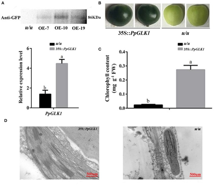 Overexpression of PpGLK1 in u/u tomato. (A) <t>qRT-PCR</t> and western blot analysis confirming PpGLK1 overexpression in u/u tomato. (B) Phenotype of PpGLK1 -overexpressing u/u tomato. (C) Chlorophyll contents in u/u tomato and PpGLK1 -overexpressing u/u tomato. (D) Chloroplast development in fruit observed by TEM in PpGLK1 -overexpressing u/u tomato fruit and u/u tomato fruit. Data is presented as the means ± SD, n = 3. Different letters above bars denote statistical significance according to one-way ANOVA and Duncan's test ( P