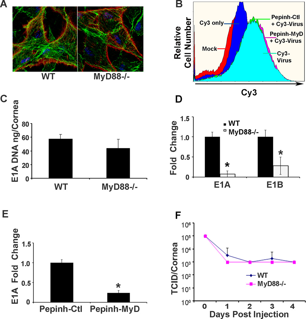 HAdV-D37 binding, entry, early gene expression, and DNA replication in the MyD88 −/− corneas and human corneal fibroblasts treated with a MyD88 inhibitor peptide. Corneas of WT and MyD88 −/− mice injected with Cy3-labeled HAdV-D37 (red) and visualized by confocal microscopy at 1 hpi ( A ) appear to show binding to corneal stromal cells of both mouse genotypes. Slides were co-stained with Topro-3 and phalloidin to visualize nuclei (blue) and cytosolic actin filaments (green). Flow cytometry performed at 1 hpi ( B ) shows no difference in viral binding to cultured HCF pretreated with the MyD88 inhibitory peptide or the control peptide (Pepinh-MyD, Pepinh-Ctl, respectively) prior to infection with Cy3 labeled virus. Real-time qPCR ( C ) performed at 1 dpi on mouse corneas shows no significant difference in the quantity of viral DNA in MyD88 −/− corneas as compared to those of WT mice (p=.21). However, real-time qRT-PCR ( D ) for early viral gene expression shows a significant reduction in E1A and E1B expression in MyD88 −/− as compared to WT corneas (*p=.00167 and *p