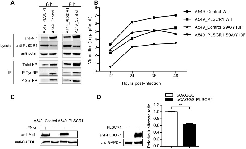 PLSCR1 does not affect the phosphorylation status of NP and does not stimulate the IFN pathways. (A) PLSCR1-overexpressing or empty retrovirus-transduced control A549 cells were infected with WSN virus at an MOI of 5. Cell lysates were processed at 6 h and 8 h p.i., immunoprecipitated with a mouse anti-NP mAb, a mouse anti-p-Ser mAb, or a mouse anti-p-Tyr mAb, followed by western blotting with a rabbit anti-NP pAb to detect the level of total NP, serine-phosphorylated NP, and tyrosine-phosphorylated NP, respectively. (B) Replication of an NP-phosphorylation mutant virus in PLSCR1-overexpressing A549 cells. PLSCR1-overexpressing or empty retrovirus-transduced control A549 cells were infected with wild-type WSN virus or the phosphorylation mutant S9A/Y10F at an MOI of 0.1. Supernatants were collected at the indicated timepoints and titrated for infectious virus by means of plaque assay on MDCK cells. (C) Expression of Mx1 protein in PLSCR1-overexpressing or control A549 cells. PLSCR1-overexpressing or empty retrovirus-transduced control A549 cells were grown in 12-well plates, and were left untreated or were treated with IFN-α for 24 h. The cell lysates were then subjected to western blotting with a rabbit anti-Mx1 pAb for the detection of Mx1 protein. GAPDH, detected by a rabbit anti-GAPDH pAb, served as a negative control. (D) Expression of the ISRE luciferase reporter gene in HEK293T cells transfected with the PLSCR1-expressing construct or empty vector. HEK293T cells were transfected with the ISRE-Luc reporter plasmid, pRL-TK control plasmid, and the pCAGGS-PLSCR1 or empty pCAGGS plasmid for 20 h. The overexpression of PLSCR1 was confirmed by western blotting with a rabbit anti-PLSCR1 pAb. The luciferase activity of the transfected cells was analyzed by using the Dual-Luciferase reporter assay. After normalization with co-transfected Renilla luciferase activity, the relative firefly luciferase activity of PLSCR1-overexpressing cells was expressed as the fold-induc