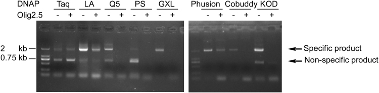 Olig2.5 inhibited archaeal family B DNA polymerases. An E. coli DH5α colony harbouring the 2.6 kb upstream sequence of Olig2 in pGL3-Basic vector was cultured and 1 μl of the culture was directly used as template for PCR. Olig2F and OligTSSR were used as primers to amplify the 2 kb fragment. Olig2.5 was added to see its inhibition to various DNAP. DNAP: DNA polymerase. LA: LA Taq DNAP. Q5: Q5 High-Fidelity DNAP. PS: PrimeSTAR HS DNAP. GXL: PrimeSTAR GXL DNAP. Phusion: Phusion High-Fidelity DNAP. Cobuddy: Cobuddy Super Fidelity DNAP. KOD: KOD DNAP.