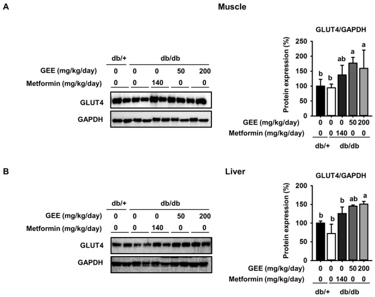 Effect of GEE on GLUT4 protein expression in the skeletal muscle and liver of db/db mice. Five-week-old mice were administered with or without GEE (50 and 200 mg/kg/day) for five weeks. GLUT4 was quantified by western blotting in the skeletal muscle ( A ) and liver ( B ). Protein expression was quantified after normalization to glyceraldehyde 3-phosphate dehydrogenase (GAPDH) using Image J software. Data were analyzed by a one-way ANOVA followed by Duncan's test. Data are mean ± SD ( n  = 8 per group,  a p