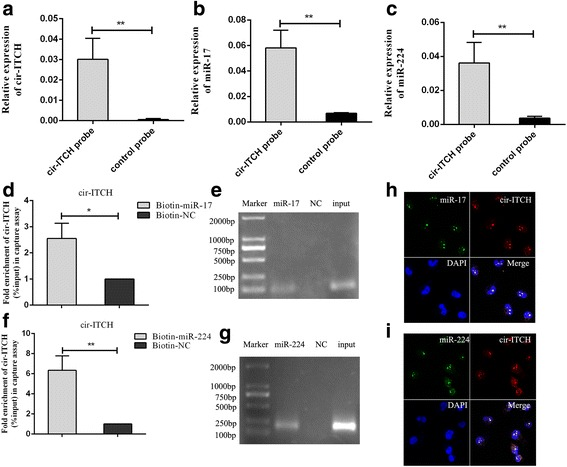 Cir-ITCH acted as a sponge for miR-17 and miR-224. a Cir-ITCH in BCa cell lysis was pulled down and enriched with cir-ITCH specific probe and then detected by qRT-PCR(** P