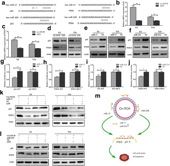 Cir-ITCH modulated the expression of endogenous miR-17 and miR-224 targets p21 and PTEN. a Putative miR-17/miR-224 binding sequence in the 3′-UTR of p21 and PTEN mRNA. b and c cir-ITCH up-regulated the mRNA expression level of p21 and PTEN in BCa cells by qRT-PCR (* P