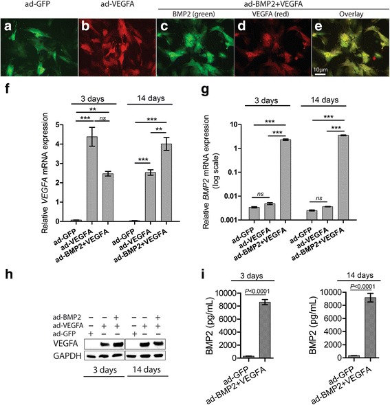 VEGFA and BMP2 adenoviral vectors (ad) respectively upregulated the expression of vascular endothelial growth factor A (VEGFA) and bone morphogenetic protein 2 (BMP2) in BMSC. Representative immunofluorescence images of BMSC in monolayer transduced with ad-GFP ( a ), ad-VEGFA ( b ), and ad-VEGFA + BMP2 ( c – e ) adenoviral particles. BMSC (5× 10 4 ) were seeded in each scaffold and harvested after 3 and 14 days for mRNA and protein analyses. Significant upregulation of VEGFA mRNA ( f ) and VEGFA protein ( h ) levels were found at both time points in both ad-VEGFA and ad-BMP2 + ad-VEGFA BMSC compared with the ad-GFP BMSC. Similarly, significant upregulation of BMP2 mRNA ( g ) was found in ad-BMP2 + VEGFA BMSC compared with the ad-GFP and ad-VEGFA BMSC at both time points. VEGFA and BMP2 mRNA levels were normalized to GAPDH mRNA level. i ELISA disclosed higher levels of secreted BMP2 in the culture supernatant of ad-BMP2 BMSC compared with the ad-GFP BMSC at both 3 and 14 days. Error bars in ( f ) and ( g ) represent SEM of three repeated experiments ( n = 3) performed in three technical replicates. ANOVA test with Bonferroni post hoc analysis was used for statistical analysis in ( f ) and ( g ) and Student's t test was performed in ( i ). Error bars in ( i ) represent SEM of three repeated experiments ( n = 3). *** p