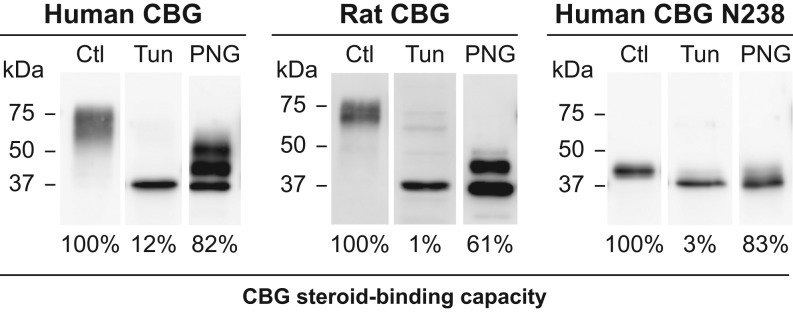 Effects of inhibiting glycosylation or removing N -glycans on human and rat CBG steroid binding. The CBGs were expressed in CHO-S cells in the presence or absence of the N -glycosylation inhibitor tunicamycin (Tun) and the culture media were concentrated and buffer-exchanged for Western blotting and steroid-binding capacity measurements. Reductions in apparent molecular size and loss of micro-heterogeneity are consistent with the absence of glycosylation. The steroid-binding capacities of human and rat CBGs produced by tunicamycin-treated CHO-S cells were compared as a percentage (%) of those produced by untreated (Ctl) CHO-S cells after adjusting their amounts based on Western blotting. Similar amounts of human CBG, rat CBG, and human CBG N238 produced in untreated CHO-S cells were also incubated with PNGase F (PNG) to remove N -glycans. The amounts of PNGase F and incubation time were optimized to ensure that removal of N -glycans was as complete as possible, and similar results were observed when 500 units of PNGase F treatment were used for 3 h or 16 h at 37°C. Western blotting was used to assess the efficacy of deglycosylation and steroid-binding capacities were expressed as a percentage (%) of those obtained for the untreated (Ctl) samples. Positions of molecular size markers (kDa) are indicated.