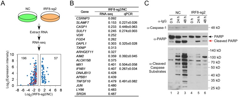 """IRF8 depletion suppresses the expression of genes involved in apoptosis. A. Schematic representation of RNA-seq analyses of Akata (EBV + ) cells carrying control (NC) or IRF8-sg2 sgRNAs, RNAs were extracted from cells derived from three distinct lentiviral transductions. Using 2-fold change as a cutoff, 196 and 57 genes were down- or up-regulated upon IRF8 depletion, respectively. Gene Ontology analysis showing that 19 genes involved in """"positive regulation of apoptosis"""" (red dots) were down-regulated by IRF8 depletion. B. Fold changes of the 19 apoptosis-related genes and the validation of 8 of them by RT-qPCR analysis of RNAs from cells derived from three distinct lentiviral transductions. C. IRF8 depletion (sg2) suppresses caspase-1 expression and the generation of cleaved caspase substrates upon lytic induction by anti-IgG cross-linking. Western blot analysis of protein extracts from Fig 1D using antibodies against caspase-1, PARP, and cleaved caspase substrates (Peptides containing [DE(T/S/A)D] motif) as indicated."""