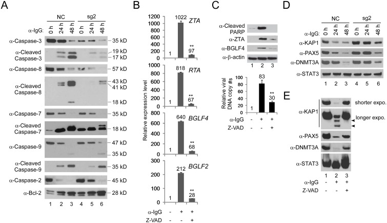 IRF8 depletion suppresses caspase activation and caspase activation is required for EBV lytic replication. A. IRF8 depletion suppresses caspase activation. Western blot analysis of protein extracts from Fig 1D using antibodies against caspase-3, cleaved caspase-3, caspase-8, cleaved caspase-8, caspase-7, cleaved caspase-7, caspase-9, cleaved caspass-9, caspase-2 and Bcl-2 as indicated. B. Caspase inhibition suppresses EBV lytic gene expression. Akata (EBV + ) cells were untreated or pre-treated with pan-caspase inhibitor (Z-VAD-FMK) for 1 hr and then anti-IgG was added for 48 hrs. RNA was extracted and EBV lytic gene expression was analyzed by RT-qPCR. Data are presented as means ± standard deviations of triplicate assays. ** p