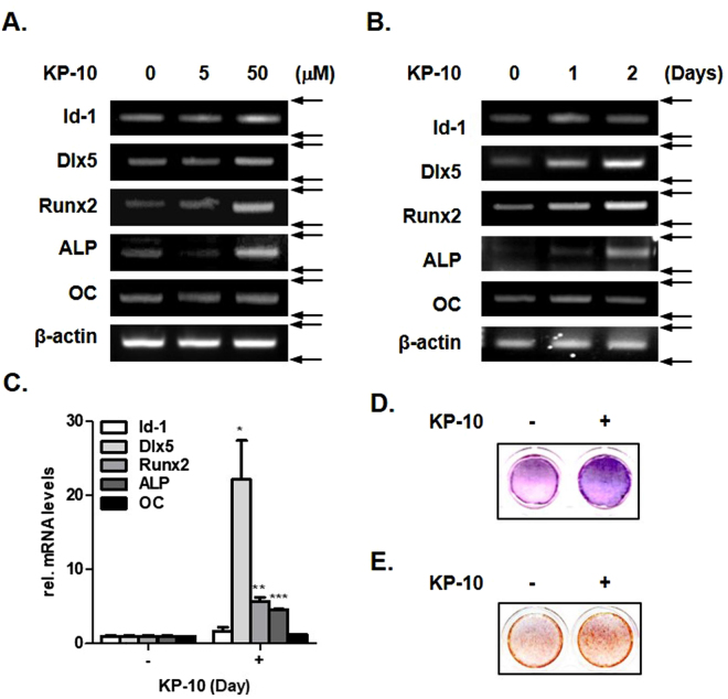 KP-10 induces osteogenic gene expressions in C3H10T1/2 cells. ( A and B ) RT-PCR were performed using total RNA isolated from C3H10T1/2 cells treated with 5 or 50 μM KP-10 for 2 days ( A ), 50 μM KP-10 for 1 or 2 days ( B ). ( C ) Real-time PCR were performed using total RNA isolated cells treated with 50 μM of KP-10 for 2 days. * p