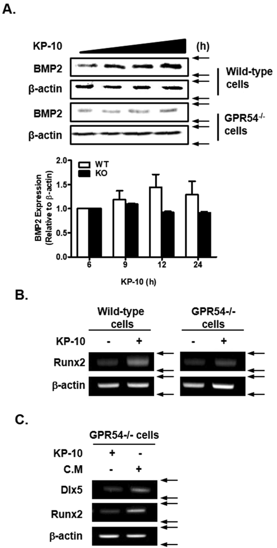 GPR54 is necessary for KP-10-induced osteoblast differentiation. ( A ) Wild-type and GPR54 −/− <t>C3H10T1/2</t> cells were treated with 50 μM KP-10 for 6, 9, 12 or 24 h. Western blot analysis was performed using the indicated antibodies. BMP2 expression was normalized to β-actin expression. And the densitometry analysis was performed by ImageJ program (A, lower panel). ( B and C ) RT-PCR was performed using total RNA isolated from cultured cells. Wild-type and GPR54 −/− cells were treated with 50 μM KP-10 for 1 day ( B and C ). C.M of wild-type cells treated with 50 μM KP-10 for 12 h was collected. GPR54 −/− C3H10T1/2 cells were treated with 50 μM KP-10 or C.M for 2 days ( C ).