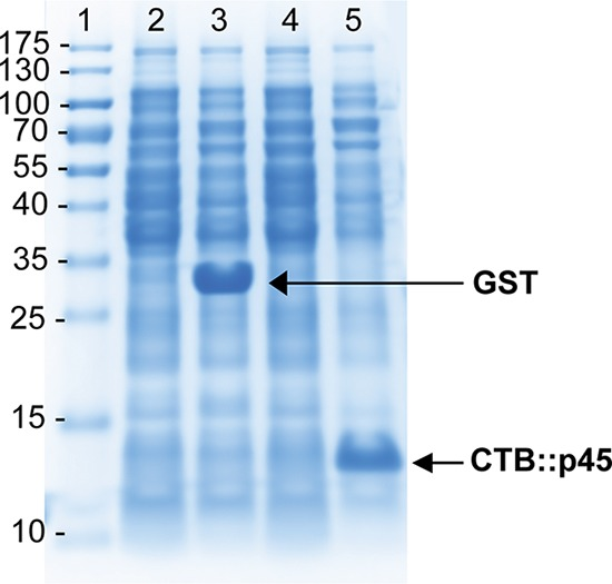 High-level expression of recombinant proteins in lgt -deleted strains. Shown is an SDS-PAGE gel of protein lysates of the E. coli BL21-derived lgt -deleted strain MMS1742 carrying expression plasmids expressing different recombinant proteins. Lanes 2 and 4 show the respective strains after culturing under noninducing conditions. Cultures were induced by the addition of IPTG. Lane 3 shows the expression of soluble recombinant sj26GST in strain MMS1808 (MMS1742/pMT-sj26GST/lgtVc), and lane 5 shows the expression of recombinant CTB::p45, which is insoluble and produced as inclusion bodies in strain MMS1762 (MMS1742/pMT-CTB::p45/lgtVc).
