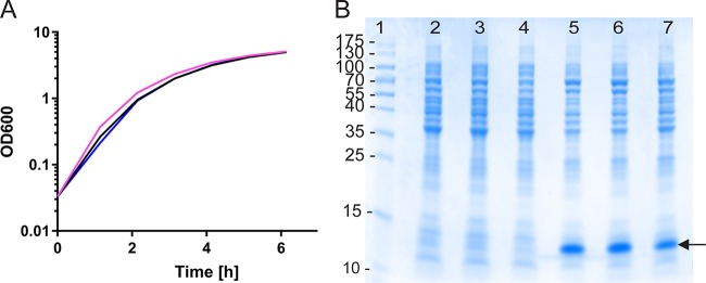 Comparable growth and protein expression levels in an E. coli Δ lgt strain compared with the wild-type strain carrying a conventionally maintained plasmid. (A) Duplicate growth curves of an E. coli BL21 Δ lgt Tn 5 (kan) strain MMS1742 derivative carrying pMT-CTB::p45/lgtVc (pink and blue lines) and wild-type strain E. coli BL21 carrying the equivalent plasmid pML-CTB::p45 maintained by Amp resistance (black line). (B) <t>SDS-PAGE</t> showing expression comparisons of the same strains grown under inducing (lanes 5 to 7) and noninducing (lanes 2 to 4) conditions. Lanes 2 and 5 and lanes 3 and 6 show protein from duplicate cultures of the MMS1742 derivatives grown under inducing and noninducing conditions, respectively, whereas lanes 4 and 7 show the parental BL21 strain carrying plasmid pML-CTB::p45 grown under inducing and noninducing conditions, respectively. The arrow indicates the recombinant protein.