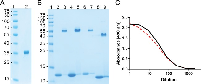 Purification and demonstration of the biological activity of recombinant proteins expressed as soluble cytoplasmic or inclusion body proteins in E. coli . (A) SDS-PAGE analysis following purification of sj26GST from the cytosol of strain MMS1808 (MMS1742/pMT-sj26GST/lgtVc). Lane 2 shows the GST protein after binding to a GST Hi-trap column and elution with 10 mM reduced glutathione. (B and C) Purification of CTB::p45 from inclusion bodies (B) and determination of biological activity by a GM1 ELISA (C). (B) Coomassie-stained SDS-PAGE gel showing purified proteins run under denaturing conditions (lanes 2, 4, 6, and 8) and nondenaturing conditions (lanes 3, 5, 7, and 9). Lanes 2 through 5 show CTB::p45 expressed from E. coli Δ lgt strain MMS1762. Lanes 6 and 7 show CTB::p45 expressed from BL21 carrying a conventional plasmid maintained by antibiotic selection (strain MMS1089). Lanes 8 and 9 show an rCTB standard. (C) GM1 ELISA of CTB::p45 produced from MMS1762 (black line) and MMS1089 (broken red line) after reassembly and purification. The presented data represent results from duplicate assays. The starting concentration of each protein was 0.5 μg/ml. The assay was performed as described in Materials and Methods.