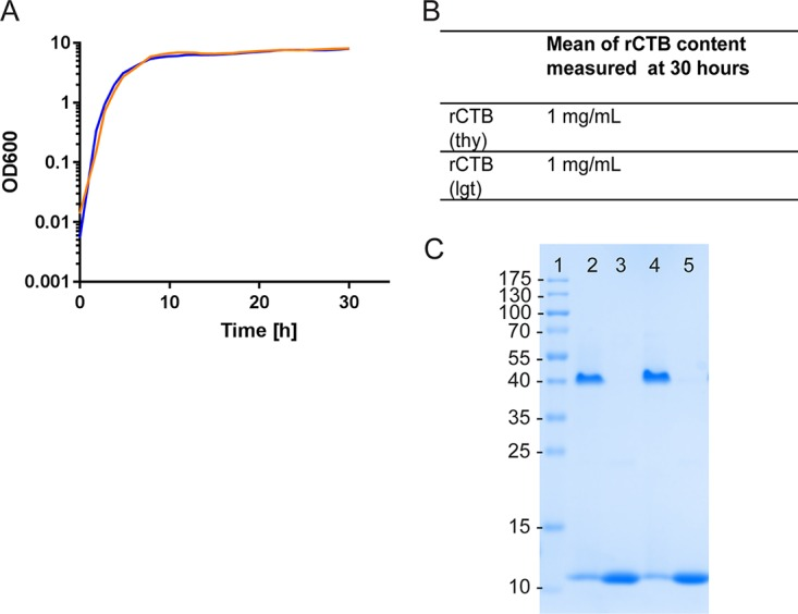 Comparable growth and expression of rCTB in different V. cholerae strains. (A) Growth curves of MS1012 expressing rCTB from a plasmid maintained by complementation of the thyA gene and MMS1692 expressing rCTB from a plasmid maintained by lgt complementation. (B) rCTB production in milligrams per milliliter, measured by a GM1 ELISA after 30 h. (C) Coomassie-stained SDS-PAGE gel showing rCTB in native (pentameric) and denatured forms from MMS1692 (lanes 2 and 3, respectively) and MMS1012 (lanes 4 and 5, respectively).