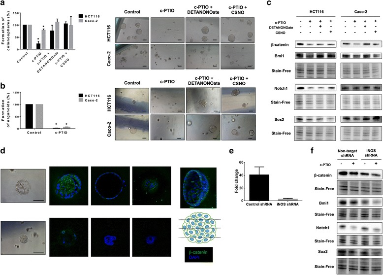 eNOS-derived NO scavenging significantly impairs the CSC phenotype in human colon cancer cells. a Formation of tumorspheres from HCT-116 and Caco-2 cells pre-treated for 24 hours with c-PTIO (100 μM) with or without DETANONOate or CSNO (100 μM). Representative images 1–2 weeks after seeding are shown. b Formation of organoids from cells pre-treated for 24 hours with c-PTIO (100 μM) with or without NO donors (100 μM). Representative images 1–2 weeks after seeding are shown. c Immunoblot of β-catenin, Bmi1, Notch1, and <t>Sox2</t> expression in HCT-116 and Caco-2 tumor cells treated for 24 hours with c-PTIO (100 μM) with or without DETANONOate or CSNO (100 μM). d Organoid immunofluorescence of β-catenin from control or Caco-2 organoids treated with c-PTIO (100 μM) for 24 hours. e RT-qPCR of iNOS-induced expression (IL-1β 3 ng/ml, IFN-γ 200 U/ml and TNF-α 75 ng/ml, for 6 hours) from control and iNOS-shRNA expressing HCT-116 cells. f Immunoblot of previously mentioned proteins in iNOS-knockdown HCT-116 cancer cells treated with c-PTIO (100 μM). Stain-free technology was used as loading control in immunoblot experiments. * P