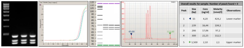 Analysis performed by 2100-Bioanalyzer system of amplicons generated after PCR amplification onto Lab-on chip. The products obtained show an appropriate size difference to allow the discrimination and a good differentiation between the exons 2, 3, and 4.