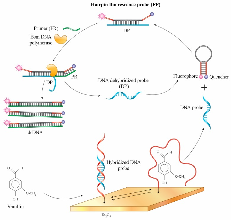 Detection scheme: release of the dehybridized DNA probe during aptamer-vanillin complex formation and the Bsm DNA polymerase reaction with probe detected by ISFET.