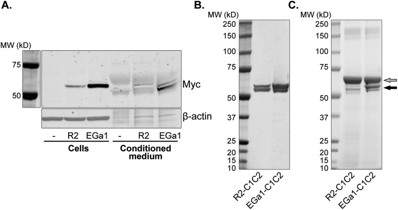 C1C2-proteins are expressed and secreted by HEK293 cells and can be purified from conditioned medium. A. Western blot of HEK293 cell lysates after stable transfection with pcDNA3.1-R2-C1C2 (R2) or pcDNA3.1-EGa1-C1C2 (EGa1) vectors (10 μg protein per lane) and corresponding conditioned medium (45 μL medium per lane). Myc tags were used to detect C1C2-nanobody expression, and β-actin was included as a loading control. B. Western blot of R2-C1C2 and EGa1-C1C2 after purification from conditioned medium, stained with anti-Myc antibodies. C. SDS-PAGE of purified R2-C1C2 and EGa1-C1C2. Arrows indicate bands of BSA from the OSB (gray) and C1C2-nanobodies (black). Lanes in B and C contained 1 μg of protein.