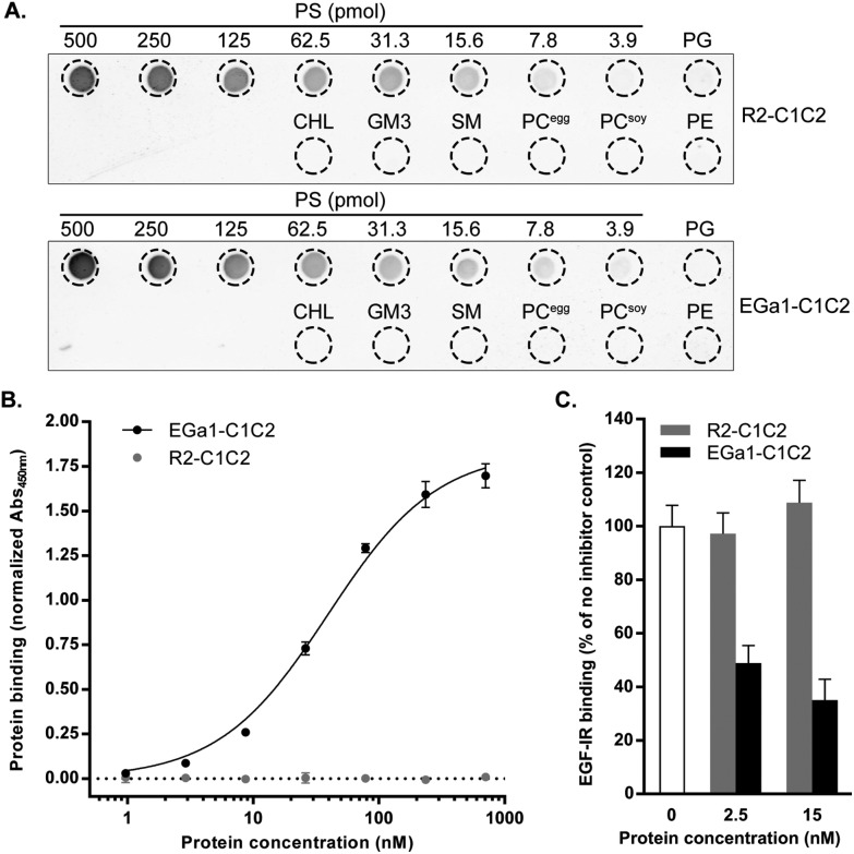 Purified C1C2-nanobodies bind to PS and EGFR with high affinity and compete with binding of EGF. A. Protein–lipid overlay assay in which a PVDF membrane was spotted with 500 pmol of phosphatidylglycerol (PG), cholesterol (CHL), ganglioside GM3 (GM3), sphingomyelin (SM), egg- and soy-derived phosphatidylcholine (PC egg and PC soy , respectively), phosphatidylethanolamine (PE), and decreasing quantities of PS. Binding of R2-C1C2 and EGa1-C1C2 was detected with anti-Myc antibodies. B. ELISA showing binding of increasing concentrations of R2-C1C2 and EGa1-C1C2 to immobilized extracellular domains of EGFR. C1C2-nanobody binding was quantified using anti-Myc antibodies with peroxidase detection. C. Competition ELISA in which C1C2-nanobodies were mixed with 40 nM EGF-IRDye800 (EGF-IR) and incubated with plate-captured extracellular domains of EGFR. EGF-IR binding was analyzed using an Odyssey imager. All data are displayed as mean ± SD and are representative of at least two replicate experiments.