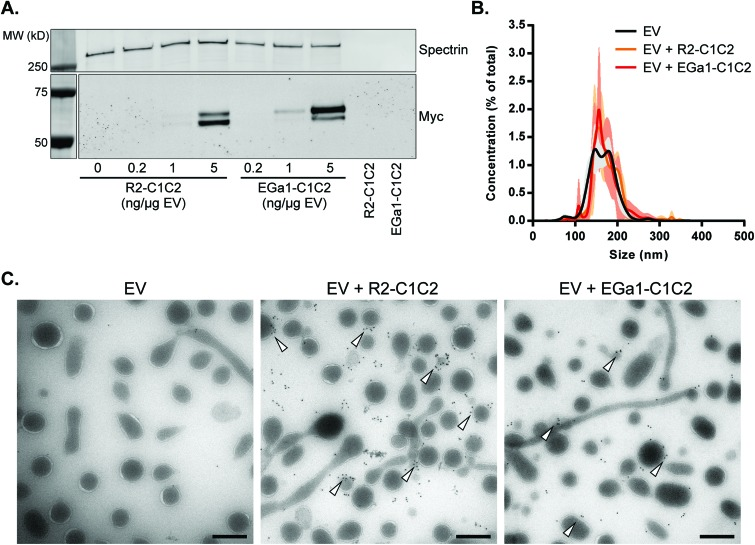 C1C2-nanobodies self-associate with RBC EVs in a dose-dependent manner without affecting EV size and integrity. A. Western blot of RBC EVs after decoration with increasing amounts of R2-C1C2 and EGa1-C1C2 and after SEC purification. C1C2-nanobodies were detected with anti-Myc antibodies and alpha-1-spectrin was used as a loading control for EVs. In each lane 20 μg of protein was loaded. Right two lanes show typical EV fractions after loading of high concentrations of R2-C1C2 or EGa1-C1C2 (corresponding with concentrations used in sample lanes 4 and 7) onto the SEC column. B. Representative size distribution of RBC EVs after decoration with C1C2-nanobodies (40 ng μg –1 EV), determined by Nanoparticle Tracking Analysis. Data is displayed as mean ± SD of 5 measurements. C. Transmission electron microscopy pictures of SEC-purified RBC EVs after decoration with R2-C1C2 or EGa1-C1C2 at a concentration of 40 ng μg –1 EV. Immunogold labeling was performed with anti-Myc antibodies and arrowheads indicate examples of membrane-associated gold. Scale bars represent 200 nm.