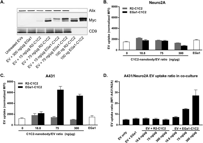 Decoration of Neuro2A EVs with EGa1-C1C2 dose-dependently promotes EV uptake by EGFR-overexpressing A431 cells and inhibits uptake by non-targeted cells. A. Western blot of Neuro2A EVs after decoration with increasing amounts of R2-C1C2 and EGa1-C1C2, or with 300 ng μg –1 EGa1 without C1C2 domains (second lane) and after SEC purification. C1C2-nanobodies were detected with anti-Myc antibodies and Alix and CD9 were used as EV marker proteins. In each lane 3 μg of protein was loaded. In the last two lanes 100 ng of R2-C1C2 and EGa1-C1C2 were loaded as references. B. Uptake of CellTracker Deep Red labeled, SEC purified Neuro2A EVs decorated with increasing concentrations of R2-C1C2 (gray) or EGa1-C1C2 (black) or 300 ng μg –1 of EGa1 without C1C2 domains by A431 cells or Neuro2A cells (panel C), as determined by flow cytometry. D. Uptake of CellTracker Deep Red labeled Neuro2A EVs decorated with increasing concentrations of R2-C1C2 or EGa1-C1C2 or 300 ng μg –1 of EGa1 without C1C2 domains by CellTracker Green labeled Neuro2A cells co-cultured with unstained A431 cells in a 2 : 1 ratio, as determined by flow cytometry. Data are expressed as the ratio of mean fluorescence intensity (MFI) of A431 cells with that of Neuro2A cells in the same well. Representative data of at least 3 replicate experiments are shown and data are displayed as mean ± SD.