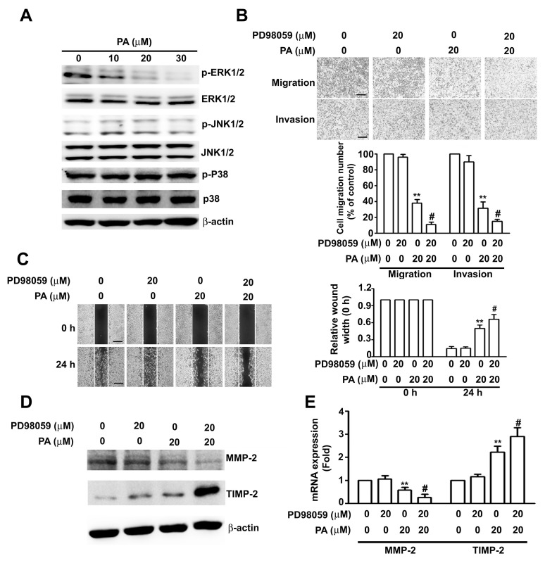 Role ERK1/2 in PA-regulated MMP-2 and TIMP-2 expression in HeLa cells. ( A ) Cells were treated with various concentrations of PA (0 to 30 μM) for 24 h, then harvested and lysed for measurement target proteins by western blotting; ( B ) cells were treated with or without PA in the absence or presence of PD98059 (specific MEK1/2 inhibitor) for 24 h, followed by measurement of migration and invasion; ( C ) cells were treated as above for 24 h, followed by measurement of relative wound width; ( D , E ) Protein and mRNA expression of MMP-2 and TIMP-2 were measured by western blotting assay and RT-qPCR. Values are means and standard errors of 3 replicates. ** p