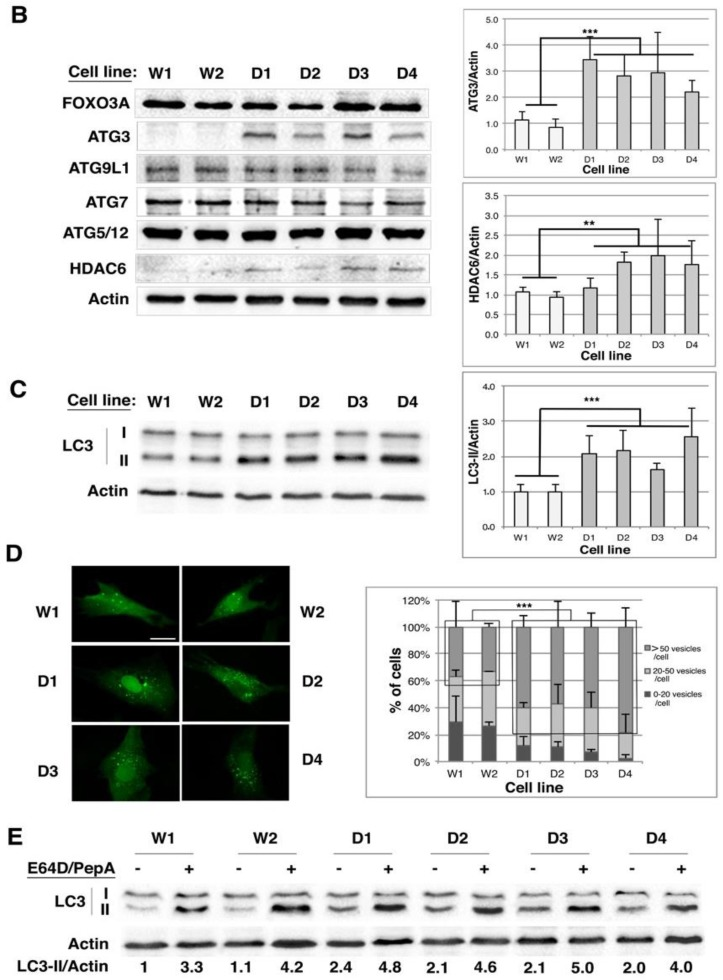 The autophagic flux is increased in DMD myoblast cell lines. ( A – C ) 10 µg of total protein extracts from control (W1 W2) and DMD (D1 to D4) cell lines were separated by SDS-PAGE and analyzed by immunoblots probed with antibodies directed against ( A ) proteins involved in the initiation phase of the autophagic process: PI3K class III, BECN1 and BCL2; ( B ) proteins involved in autophagosome nucleation/elongation or transport/fusion: FOXO3a, ATG3, ATG9L1, ATG7, ATG5/12, HDAC6; ( C ) LC3-I and its lipidated form LC3-II. Actin is used as a loading control. The histograms show means ± SD of the normalized PI3KIII/Actin, ATG3/Actin, HDAC6/Actin and LC3-II/Actin ratios as described in Figure 2 ( n = 3); ( D ) Control and DMD cell lines were transiently transfected with pEGFP-LC3; 24 h after transfection cells were fixed and analyzed with a fluorescence microscope (scale bar: 50 µm). The histogram shows quantification of the number of autophagic vesicles and indicates a statistically significant increase of cells containing more than 50 vesicles ( n = 3); ( E ) Wild type and DMD cell lines were treated (+) or not (−) with a cocktail of lysosomal protease inhibitors (E64D and <t>Pepstatin</t> A) during 19 h. 10 µg of total protein extracts of each cell lines were separated by SDS-PAGE and analyzed by immunoblot using a specific antibody against LC3. This Western bot is representative of three identical experiments; after quantification, the LC3-II/Actin ratios was set at 1.0 for non-treated conditions in W1 cell line. ** p