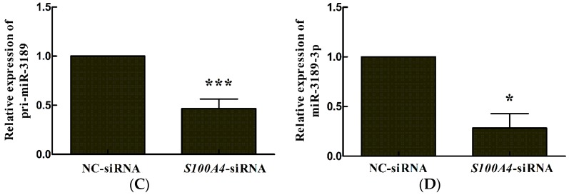 S100A4 knockdown leads to decreased expression of miR-3189-3p in MGC803 cells. MGC803 cells were transfected with either S100A4 -siRNA (small interfering RNA) or NC-siRNA, mRNA was extracted for quantitative reverse transcription polymerase chain reaction (qRT-PCR) analysis of ( A ) S100A4, ( B ) GDF15 , ( C ) pri-miR-3189, and ( D ) miR-3189-3p at 48 h after transfection. Data represent the mean of three independent experiments. GAPDH was used for the internal control. * p