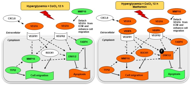 Comprehensive VEGF signaling network of genes and proteins involved in cell migration and survival. Metformin-treated condition is compared to metformin-untreated condition under hyperglycemia-CoCl 2 for 12 h. The network was created by IPA software rendering VEGF signal transduction pathways. The genes from microarray expression study that are represented with red shades are upregulated, and green shades are downregulated, MMP16 was validated by qRT-PCR. The activity of ERK1/2 was assessed by MAPK activation dual detection assay flow cytometry. The red shade on functional assays denoted activation while green shade inhibition. Solid lines denoted direct interaction; interrupted lines denoted indirect interaction.