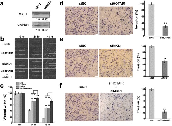 a Western blots analysis of the MKL1 protein expression at 48 h after transfected with siMKL1 (siMKL1-I, siMKL1-II and siMKL1-III) or siNC. GAPDH was used as an internal control. b The effect of knockdown HOTAIR or/and MKL1 on cell migration was determined by wound healing assay. c Quantification of the wound healing assay. d, e, f The effect of HOTAIR or/and MKL1 inhibition on cell invasion was determined in a Boyden chamber assay. And the number of cells on the underside of the filter was determined and significantly ( P