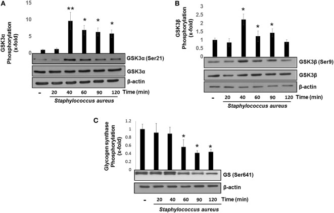 Staphylococcus aureus inactivates glycogen synthase kinase 3 (GSK3α) and GSK3β by phosphorylation at Ser21 and Ser9. Bovine endothelial cells were left uninfected (−) or infected at a multiplicity of infection of 20 CFU/cell of S. aureus for 20–120 min (A,B) or 20–60 min (C) . The relative abundance of phosphorylated GSK3α at Ser21 (A) , GSK3β at Ser9 (B) , and glycogen synthase at Ser641 (C) was evaluated by Western blotting. The detection of total GSK3α, GSK3β, and β-actin was done to ensure equal protein loading. Error bars in graphs A–C are presented as the mean ± SEM of three independent experiments (SEM; n = 3 per experiment). * P