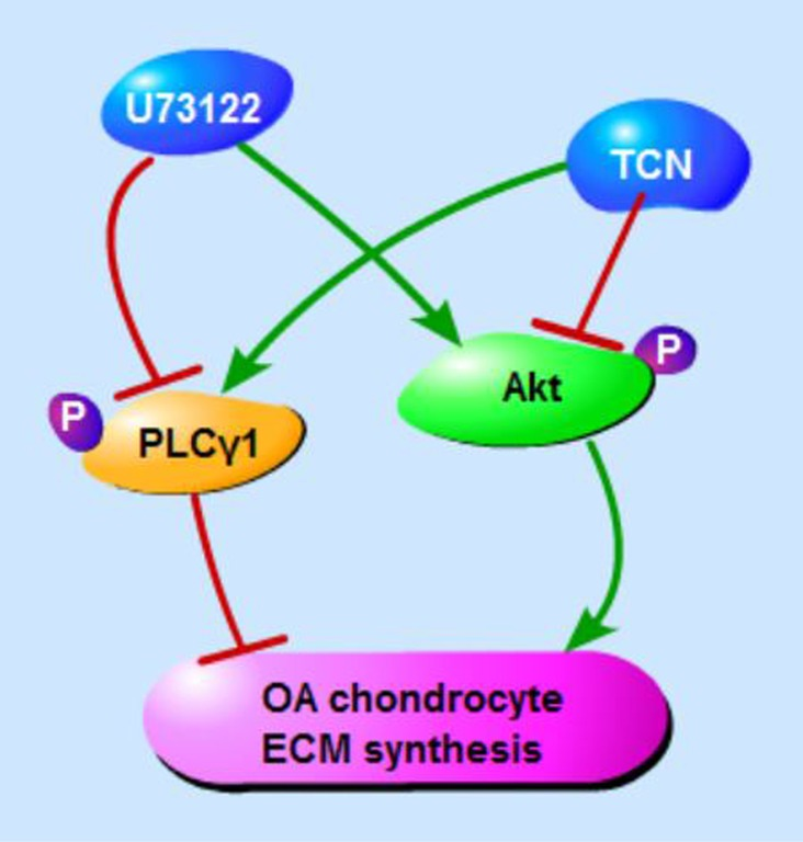 Schematic diagram of PLCγ1 and Akt regulating ECM synthesis of OA chondrocyte