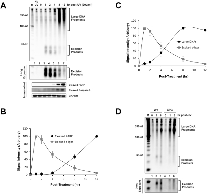 Correlation between apoptotic signaling and the generation of large DNAs with decreased generation of excised oligonucleotide repair products. ( A ) Analysis of large DNA fragments and excised oligomers released from genomic DNA following UV irradiation. HeLa cells were exposed to 20 J/m 2 of UVC and incubated for the indicated time points. After extraction of low molecular weight of DNAs from the cells, the DNA molecules were labeled with biotin at 3′-end using terminal deoxynucleotidyl transferase (TdT). The labeled DNA molecules were separated by gel electrophoresis, transferred to a nylon membrane and immobilized by UV cross-linking. The membrane was then incubated with HRP-conjugated streptavidin, and the labeled DNA molecules were detected with a chemiluminescence reagent (upper panel). A small portion of the UV-irradiated cells were lysed and analyzed by SDS-PAGE and immunoblotting with the indicated antibodies. ( B ) Quantification of the excised oligonucleotide repair products and cleaved PARP signals as shown in ( A ). The relative signal intensities were determined by setting the highest signal to 100. The results were quantified and are plotted as mean and standard deviations. ( C ) Quantitative analysis of the excised repair products and the large DNA molecules. ( D ) Wild-type (AA8) and XPG mutant (UV135) CHO cell lines were exposed to UV and processed as described above for the detection of soluble DNAs.