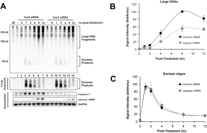 Effects of caspase 3 knockdown on the generation of large DNAs and excised oligomers.  (A)  HeLa cells were transfected with control non-targeting siRNA or caspase 3 siRNA, exposed to 20 J/m 2  of UVC 48 h later and harvested at the indicated time points. The cells were analyzed for the soluble DNAs (upper panel), and used for immunoblotting with the indicated antibodies (lower panel). Quantitative analysis of the generation of large DNAs  (B)  and excised oligomers  (C)  is also shown.
