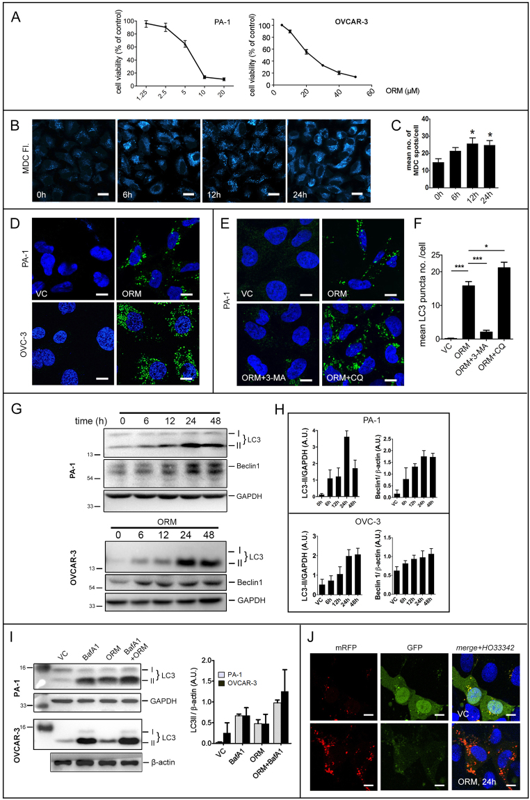 ORM induces autophagic flux in ovarian cancer cells PA-1 and OVCAR-3. ( A ) Dose-response curve of ORM in ovarian cancer cell lines PA-1 and OVCAR-3. ( B ) PA-1 cells were stained with MDC, a marker of acidic cellular compartments after treatment with indicated time periods with IC 50 dose of ORM. ( C ) quantification of MDC-positive dots from ( B ) as described in Methods. ( D ) Confocal microscopy images of PA-1 and OVCAR-3 cells treated with IC 50 dose of ORM and immunostained with LC3 (an autophagosome marker). ( E ) PA-1 cells were pre-treated with or without 3-MA (class III PI3K inhibitor; 2.5 mM) or CQ (lysosomal fusion inhibitor; 10 μM), immunostained with LC3 and imaged in confocal microscope. ( F ) Quantification of LC3 puncta from data such as ( E ) as described in Methods. ( G ) PA-1 and OVCAR-3 cells were treated with ORM (IC 50 dose) for indicated time-points and probed for autophagy markers LC3 and Beclin 1, quantified in ( H ). ( I ) PA-1 and OVCAR-3 cells were pre-treated or not with lysosomal fusion inhibitor BafA1 (100 nM; 2 h) to inhibit fusion of autophagosomes with lysosomes. LC3-II conversion was observed with immunoblotting and quantified. ( J ) PA-1 cells were transfected with tfLC3 (as described in Methods), treated with ORM for 24 h and imaged in confocal microscope. Scale bars = 20 μm ( B ); 10 μm ( D ).