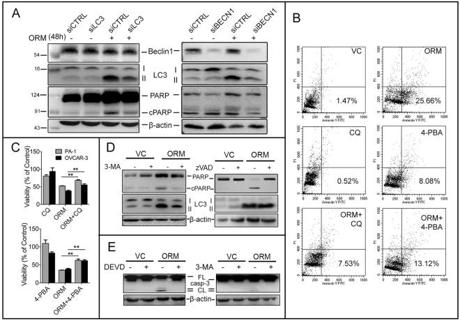 ORM-induced autophagy is upstream of apoptosis and pro-death in nature. ( A ) PA-1 cells were transfected for siRNA against either LC3 or Beclin 1, two critical autophagy proteins and cellular levels of LC3-II and cPARP were observed as markers of autophagic and apoptotic activity. ( B) PA-1 cells were treated with ORM alone (IC 50 dose), or pre-treated with lysosomal fusion inhibitor chloroquine (CQ; 10 μM, 2 h) or chemical chaperone and UPR inhibitor 4-PBA (5 mM; 2 h) before ORM treatment, stained with Annexin V-FITC/PI and analyzed by flow cytometry to assess apoptotic cell death (lower right quadrant = %early apoptotic population). ( C ) Viability (percentage of control) of PA-1 and OVCAR-3 cells pre-treated with CQ or 4-PBA and treated with ORM for 48 h measured through SRB assay; ( D , E ) PA-1 cells were pre-treated with 2.5 mM 3-MA or with 20 μM z-VAD-fmk or with 20 μM z-DEVD-fmk followed by 24 h ORM treatment (3-MA, z-DEVD) or 48 h ORM treatment (zVAD). PARP and LC3-II levels were analysed by immunoblotting.