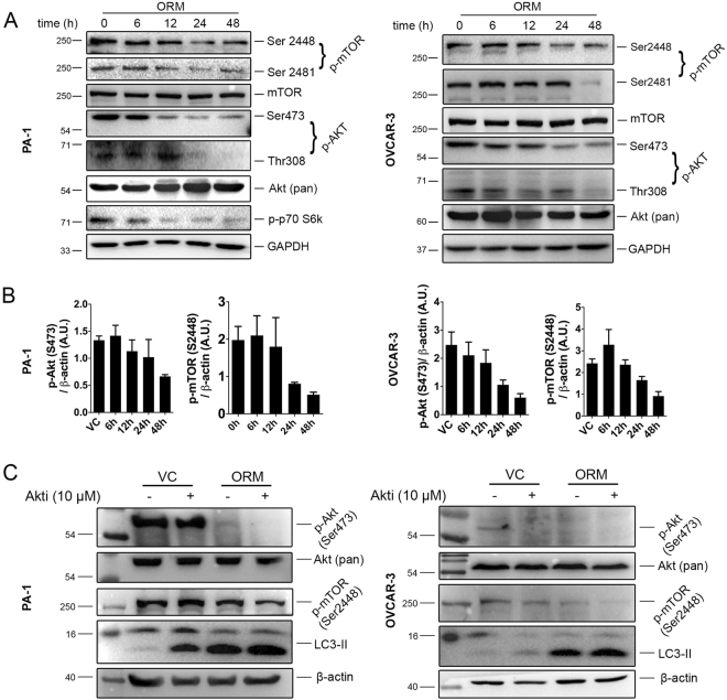 The Akt/mTOR pathway is involved in ORM-induced autophagy. ( A ) PA-1 and OVCAR-3 cells were treated with ORM IC 50 dose for indicated time-points and immunoblotted for mTOR pathway proteins mTOR (phosphorylation sites at Ser2448 and Ser2481), Akt (phosphorylation sites at Ser473 and Thr308) and p70 S6k (at Thr389; in PA-1). ( B ) densitometric analyses for p-Akt (Ser473) and p-mTOR (Ser2448) from data represented in ( A ). ( C ) PA-1 and OVCAR-3 cells were treated with ORM alone or in combination with Akti (inhibitor of Akt 1/2; 10 μM) for 24 h and cellular levels of p-mTOR (as a downstream regulator of autophagy) and LC3 were observed by immunoblotting.